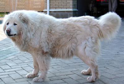 кавказская овчарка белого окраса Мег Барда