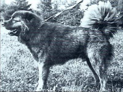 Кавказская овчарка Осман 2