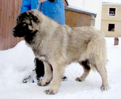 Кавказская овчарка Русский Риск Шамми