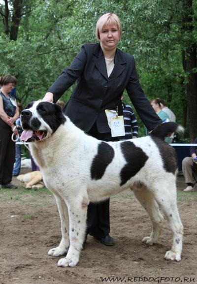 среднеазиатская овчарка - алабай, туркменский волкодав - кобель Михайловская Слобода Визирь