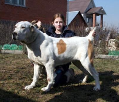 среднеазиатская овчарка - алабай, туркменский волкодав - сука МИХАЙЛОВСКАЯ СЛОБОДА АЛТЫН - 1 ГОД