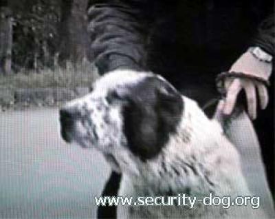 САО - алабай, туркменский волкодав - сука АКБЕЛЕК
