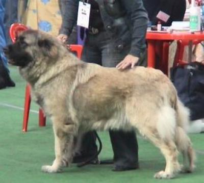 Кавказская овчарка Русский Риск Ламазия