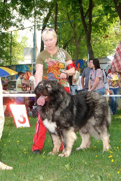 Кавказская овчарка кобель - Байрак Азсказ Русский Риск - 2,5 года