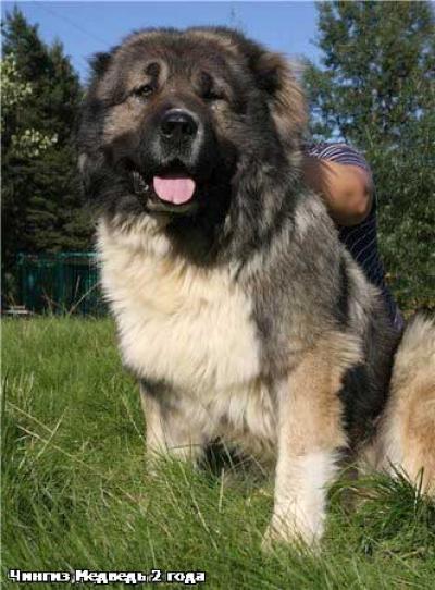 кавказская овчарка Чингиз Медведь