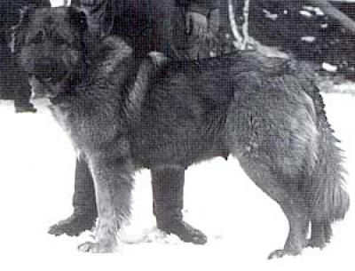 Кавказская овчарка Цхнети