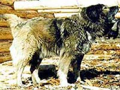 Кавказская овчарка Хулиганка