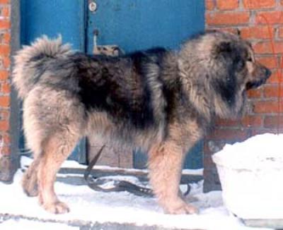 Кавказская овчарка кобель, Хаджар Айрес