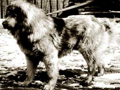 Кавказская овчарка Айтеш