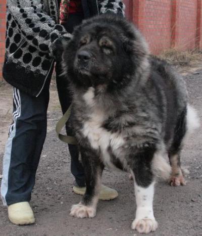 Кавказская овчарка Русский Риск Гордость