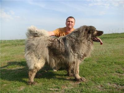 Кавказская овчарка сука, Акбар от Акбек