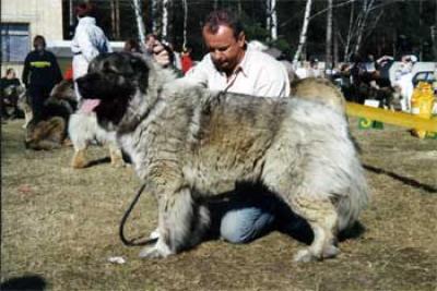 Кавказская овчарка Ольбурд Варвара, дочь Демона Русский Риск Ягодкиной Татьяны