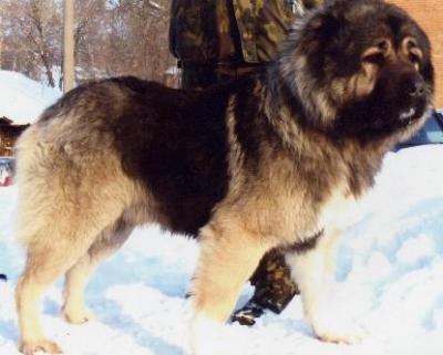 Кавказская овчарка Русский Риск Бугай