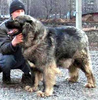 Кавказская овчарка Алсу