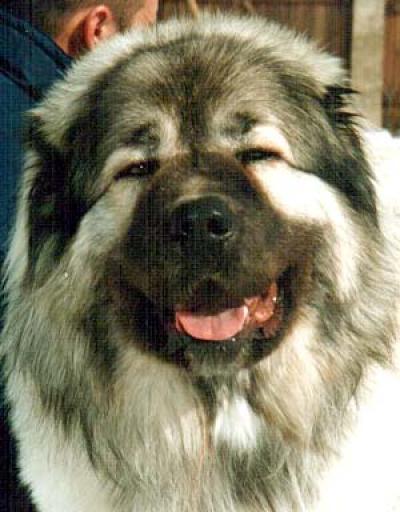 Кавказская овчарка Шамхал Баграт