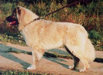 Кавказская овчарка Русский Медведь Лаки