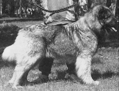 Кавказская овчарка Тагор