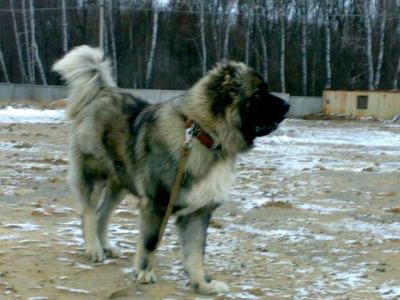 Кавказская овчарка Лиман - сын Русского Риска Атаса 2