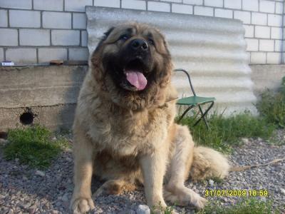 Кавказская овчарка Аймара
