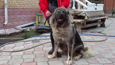 Кавказская овчарка Русский Риск Адилия