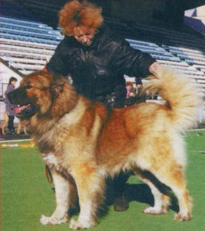 кавказская овчарка Шайтан-Шер
