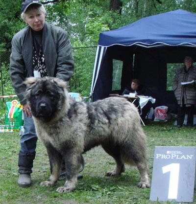 кавказская овчарка Русский Риск Роза Любви 10 месяцев