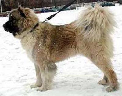 Кавказская овчарка Госпожа Ярославна