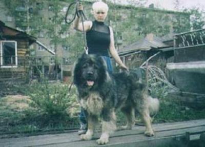 Кавказская овчарка Югай