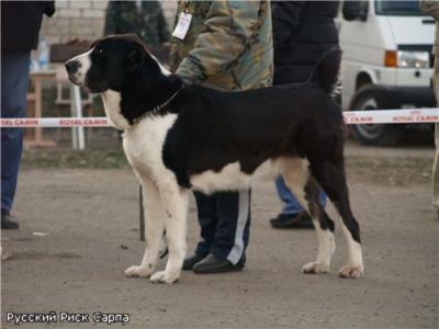 Среднеазиатская овчарка Русский Риск Сарпа