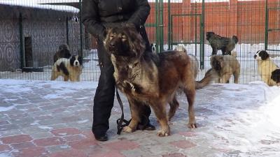кавказская овчарка, Русский Риск Адея