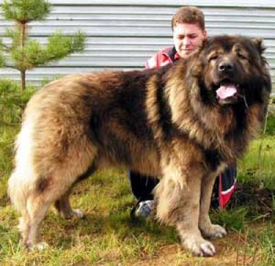 кавказская овчарка Русский Медведь Осип