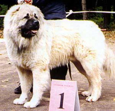 кавказская овчарка Ахсан