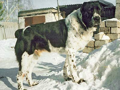 среднеазиатская овчарка, алабай, СЫЙРЛОН АК-НУКЕР / AK-NUKER SYIRLON