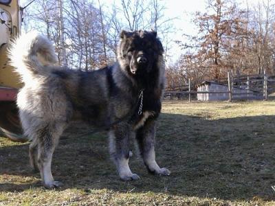 кавказская овчарка Русский Риск Атас 3
