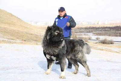 кавказская овчарка Русский Риск Идеал