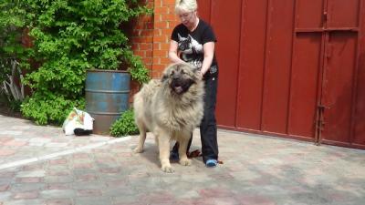 кавказская овчарка Русский Риск Офелия 2