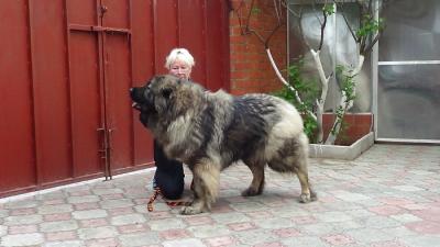 кавказская овчарка Русский Риск Достояние