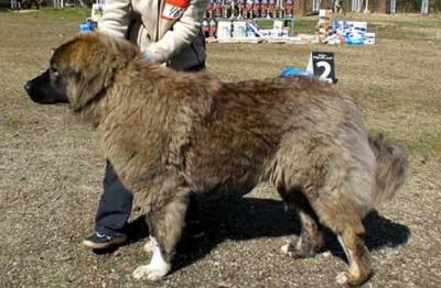 Кавказская овчарка СТРАЖ БОГОВ ВАСИЛИСА