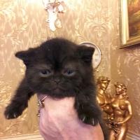 британский котик, черный мрамор, 40 дней