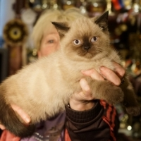 Британский котенок, котик колор пойнт, 2 месяца.