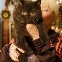Британский котенок, котик черный, 2 месяца.