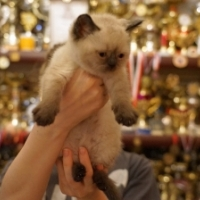 Британский котенок, кошка 1,5 месяца, колор