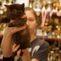Британский котенок, кошка 1,5 месяца, шоколадная