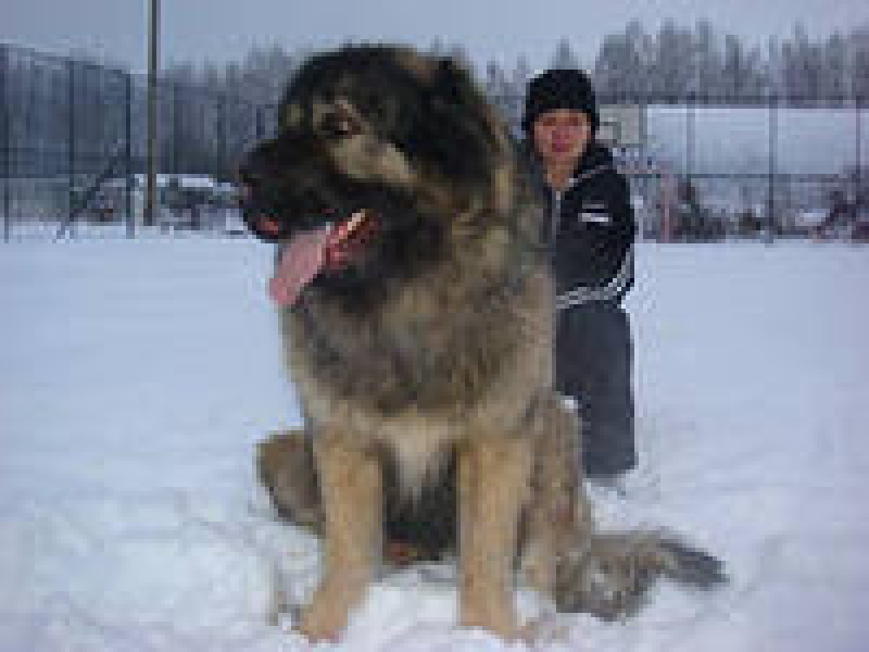 pobedpix.com / волкодав русский собака