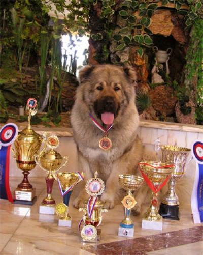 Алабай купить щенка среднеазиатской овчарки САО